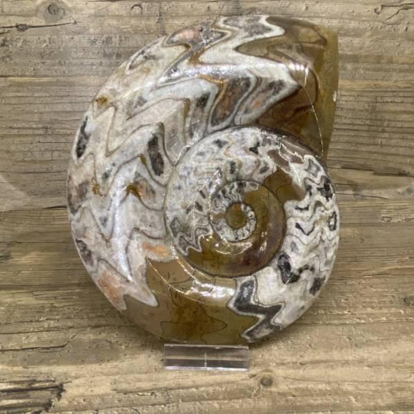 Ammonite Maroc